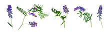 Mouse Peas Perennial Herbaceous Plant Dried Flowers Herbarium On A White Background Purple Wildflowers