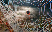 The Fat European Garden Spider Or Araneus Diadematus In The Middle Of Its Web Patiently Waits For Its Prey. It Is An Orb-weaver Spider.