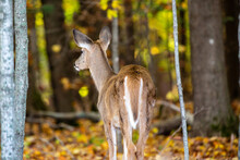 White-tailed Deer Fawn Buck (odocoileus Virginianus) Standing In A Wisconsin Forest