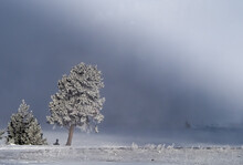 Frosted Tree On A Foggy Morning