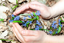 Hands Protect The Flowers . Early Spring Flowers. Nature Protection Concept