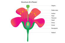 Biologicals Structure Of A Flower