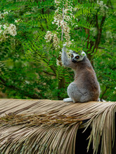 A Ring-tailed Lemur Harvests Acacia Flowers
