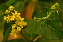 Juvenile Mantis On Bunchosia
