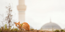 Homeless Ginger Cat Standing On Ground And Looking At Camera In Front Of Blurry Mosque Dome And Minaret In Istanbul.