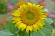 canvas print picture - Sonnenblume; Helianthus annuus; sunflower;