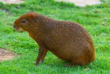 Brown Capybara (Hydrochoerus Hydrochaeris) On Grass