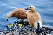 Pair Of Ruddy Shelducks In The Zoo Close Up With Autumn Leaves