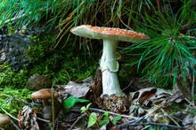 Beautiful Large Mushroom Under A Pine Trunk