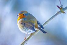 European Robin Bird Erithacus Rubecula Foraging In Snow During Winter Season