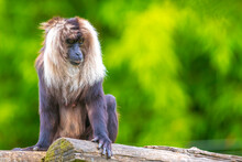 Lion-tailed Macaque, Macaca Silenus, In A Forest
