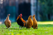 piękny kurczak kogut liliput naturalne gospodarstwo