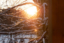 Snow On The Branches Of A Tree In The Rays Of The Rising Sun. Winter Sunrise. Winter, Pre-Christmas Weather.