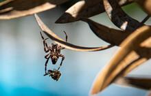 Ragno Che Porta La Sua Preda Avvolta Nella Ragnatela Nella Tana