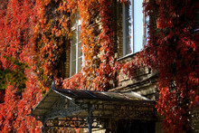 Colorful Autumn Virginia Creeper Leaves On Wall With Vintage Windows. Autumn, Fall Concept.
