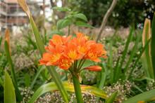 Closeup Shot Of Orange Bush Lilies Growing In A Garden
