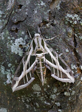 Vine Sphinx Moth Or Hawk-moth (Eumorpha Vitis) On Tree Bark, Galveston, Texas, USA.