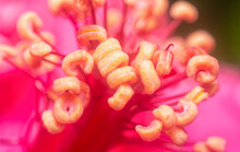 Closeup With The Beautiful Red Hibiscus Stamen.