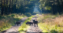 Wild Boar In A Riverside Forest