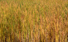 Nature Background Of Autumn Wetland Golden And Red Cattail Leaves Or Typha Latifolia