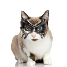 Funny Little Metis Cat With Blue Eyes Wearing Batman Mask