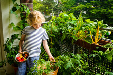 Boy Picking Tomatoes From Vegetable Garden In Balcony