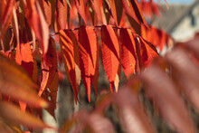 A Branch With Red Bright Leaves Close-up On A Sumac Tree On A Blurry Background.