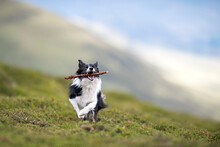Border Collie Running With Stick In Mouth
