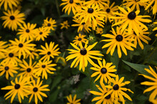 Top View Of Yellow Flowers Named Black-eyed Susan