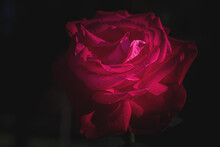 Macro Photo Of A Red Rose On A Dark Background
