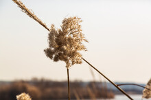 Reed, In Wet Places; It Is A Type Of Long And Hollow Plant That Grows Near A Lake Or River.