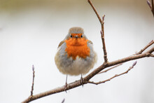 Closeup View Of The European Robin (Erithacus Rubecula) Standing On A Branch