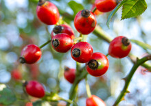 Bright Red Rosehips Growing On A Wild Rose Bush On A Sunny Autumn Morning