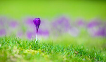 Single Purple Crocus And Green Grass In The Blurred Natural Background