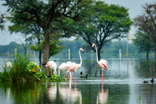 Nature Scenery Or Natural Painting By Greater Flamingo Flock Or Flamingos Family During Winter Migration At Keoladeo National Park Or Bharatpur Bird Sanctuary Rajasthan India - Phoenicopterus Roseus