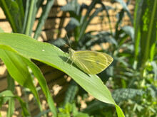 Pieris Rapae Butterfly (Cabbage White Butterfly)