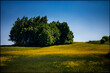 Drzewa w polu rzepaku
