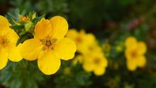Yellow Garden Flower Shrub Cinquefoil In Summer In Field