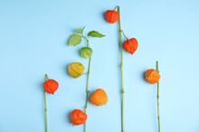 Physalis Branches With Colorful Sepals On Light Blue Background, Flat Lay