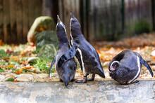 Pinguins Abraçados