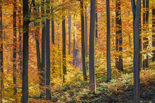 Beech Trees Forest In Autumn