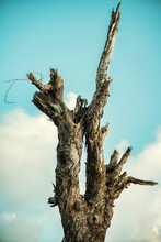 Dead Dried Out Tree Trunk Against The Blue Sky