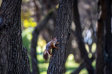 Red Squirrel Harvests Nuts For The Winter In An Autumn Yellow Park In Sunny Weather