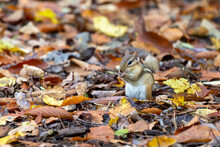 The Eastern Chipmunk (Tamias Striatus) In The Park