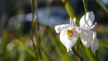 White Iris Flower Blossom, Gardening In California, USA. Delicate Bloom In Spring Morning Garden, Drops Of Fresh Dew On Petals. Springtime Flora In Soft Focus. Natural Botanical Close Up Background.