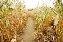 Dried Corn Stalks In A Corn Maze On Pumpkin Fair At Autumn. Traditional American Amusement On Agricultural Fair.