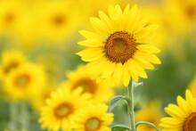 Sunflowers In Gungnamji, Buyeo-eup, Korea.