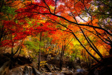 Breathtaking Shot Of A Forest Full Of Colorful Leaves In Autumn In Korea