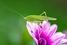 A Grasshopper On A Purple Flower In The Garden