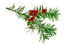 Twig Of Taxus With Berries. Paclitaxel And Docetoxel Are Important Drugs Against Breast Cancer, Found By The Medicinal Use Of Yew, Which Is A Very Toxic Plant.